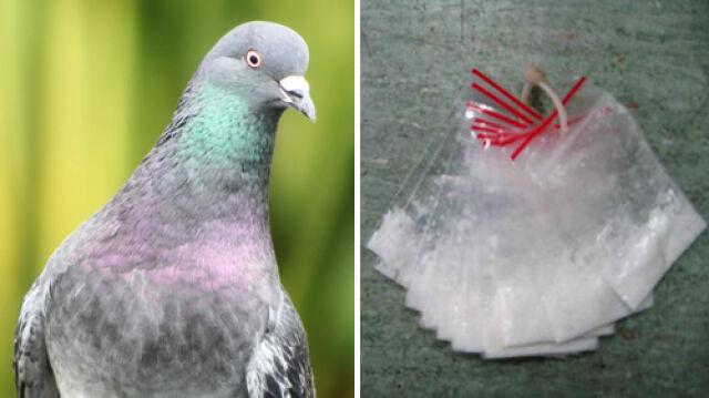 Gołębie-dilerzy w bośniackim więzieniu