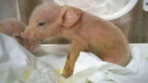 Powstała chimera świni i małpy