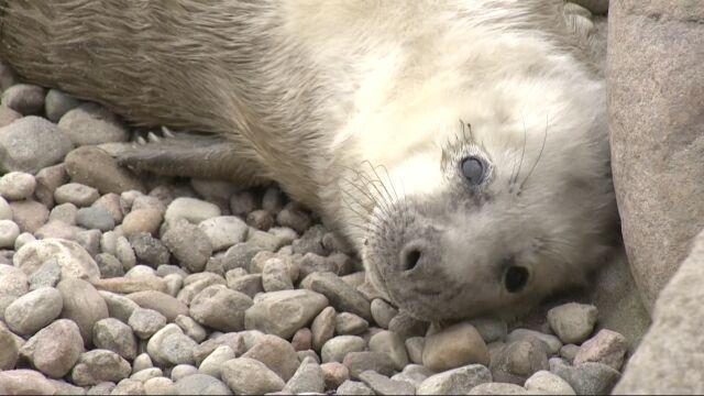 """Wszystkie foki ze Stacji Morskiej zostały mamami. """"Maluszki czują się bardzo dobrze"""""""