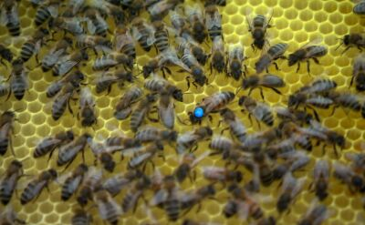 Pszczoły na dachu Pałacu Kultury i Nauki