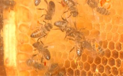Leczenie pszczołami czyli uloterapia