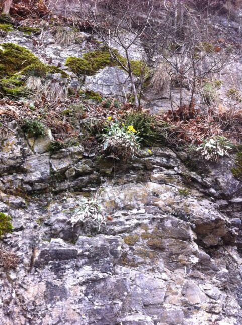 Smagliczka kwitnie w kwietniu lub maju
