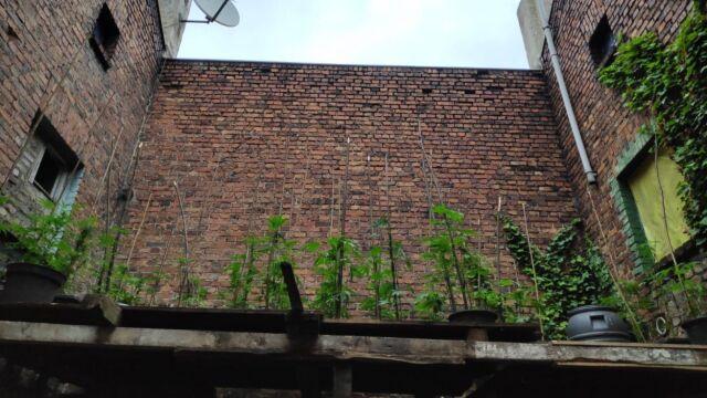 Konopie indyjskie na dachu. Użyli drona, by je znaleźć