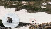 Niedźwiedź narciarz z Montany