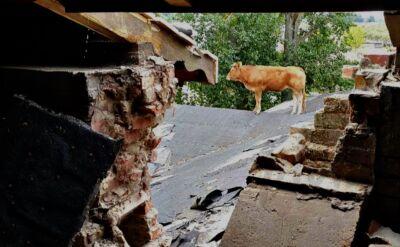 Strażacy ściągnęli krowę z dachu pałacu