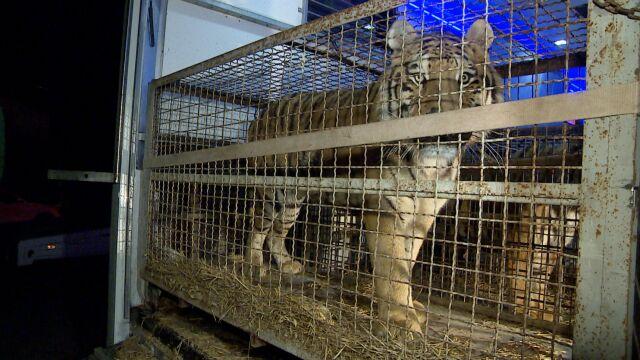 Kolejne zarzuty za transport tygrysów. Tym razem dla dwóch kierowców