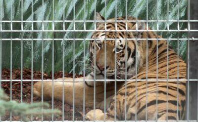 Moment, gdy starszy z tygrysów wyszedł na wybieg
