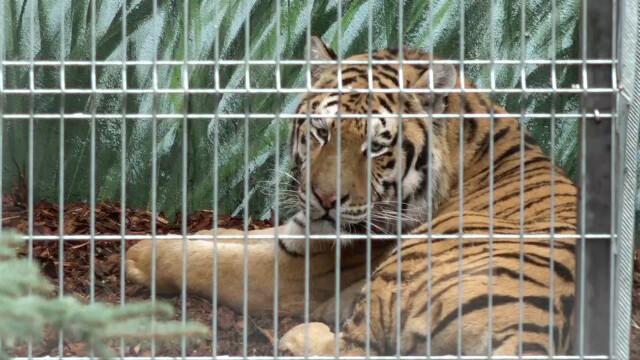 Tygrysy z Człuchowa wyszły na spacer.