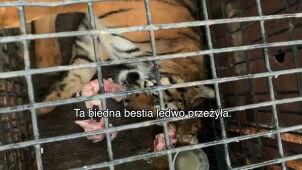 Włoscy kierowcy wieźli tygrysy i nagrywali je. Aktywiści opublikowali te filmy