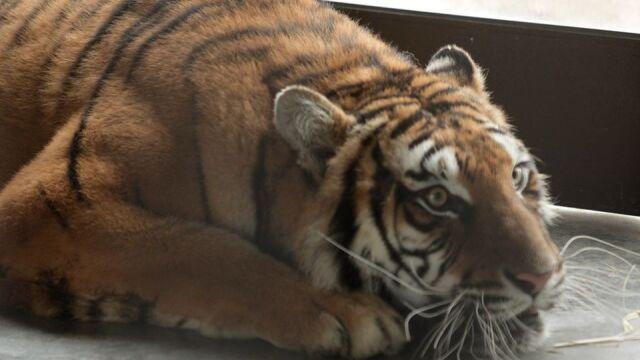Tygrysy już w
