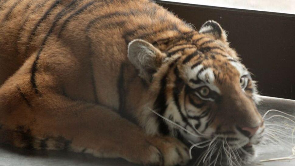 """Tygrysy już w """"sanatorium"""". Jeden rozbił szybę i wyszedł na wybieg"""