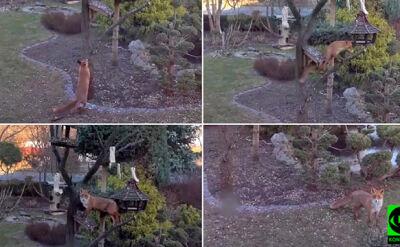 Tak lisica kradła jedzenie ptakom