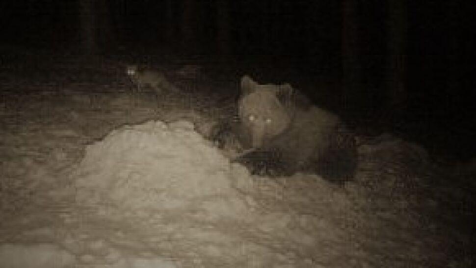 Zamiast spać w gawrze, wędruje po okolicy. Teraz niedźwiedź pojawił się w mieście