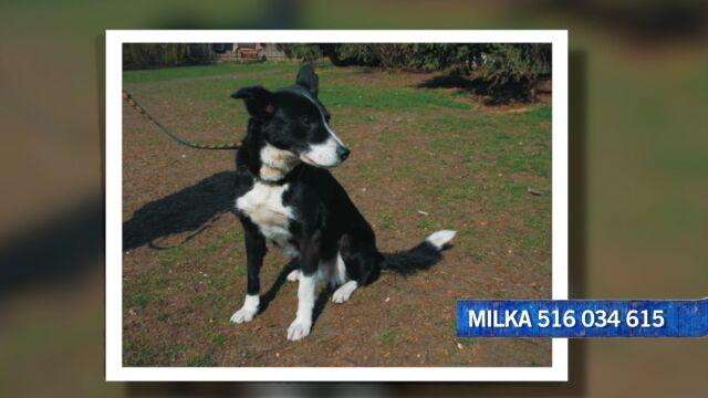 Milka szuka domu