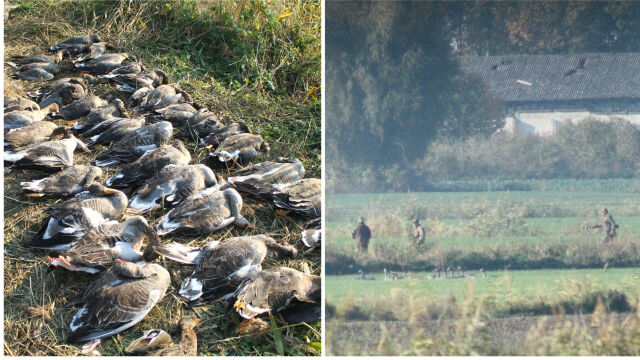 """Włosi zastrzelili kilkaset ptaków nad Zalewem Wiślanym. """"To była rzeź"""""""