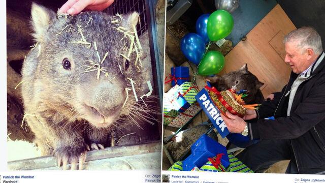 Wombat szuka miłości na Tinderze