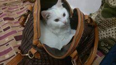 Kunkush w torbie właścicielki