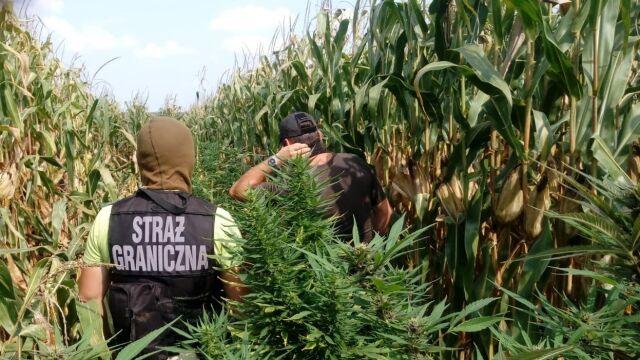 "Plantacje marihuany ukryte na polach kukurydzy. ""Pole należy do spółki rolnej"""