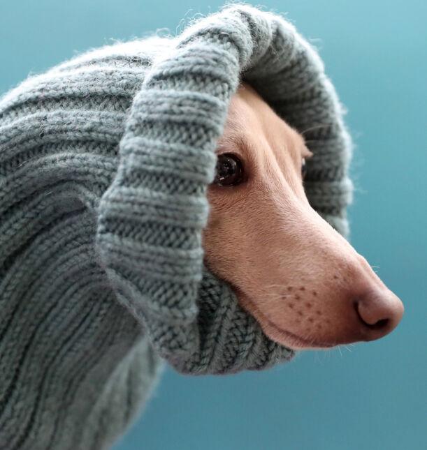 Charcik włoski podczas wystawy psów Biszeku