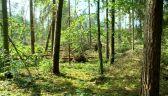 Zniszczony został 90-letni drzewostan