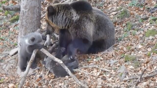 Niedźwiadki szaleją, a mama węszy. Nagranie leśniczego
