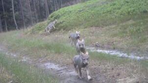 Małe wilki w oku kamery.