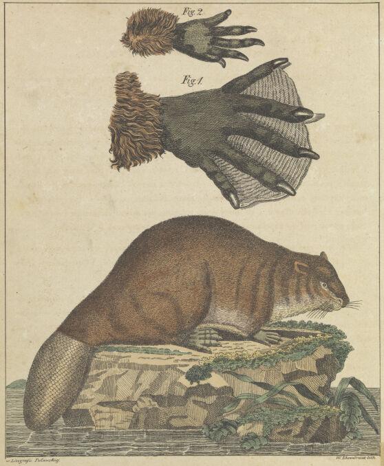 """Bóbr, ilustracja ze """"Skarbca dla dzieci"""" z 1830 roku, na podstawie ryciny z """"Historii naturalnej"""" Buffona"""