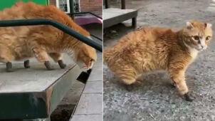 Nowe łapki Ryżyka. Kot z tytanowymi protezami