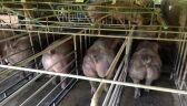 Zmutowane świnie