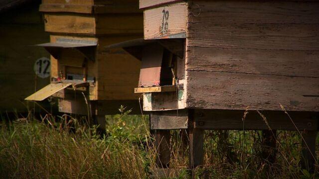 """Sąd kazał zagazować pszczoły. Przeszkadzają sąsiadom. """"Nie spotkałem się z takim draństwem"""""""