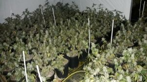 Prawie 1,7 tysiąca krzewów na zlikwidowanej plantacji marihuany