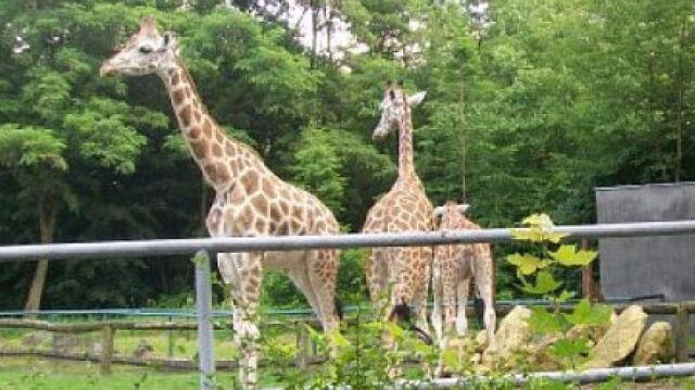 Zbierają pieniądze na nową żyrafę