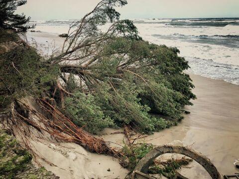 Powalone drzewo na helskiej plaży