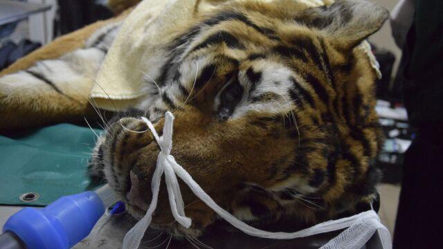 Jeden z uratowanych tygrysów przeszedł w nocy operację. Dyrektorka zoo: przeganiamy śmierć