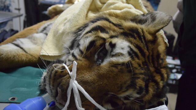 Jeden z uratowanych tygrysów przeszedł operację. Dyrektorka zoo: przeganiamy śmierć