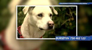 Bursztyn szuka domu