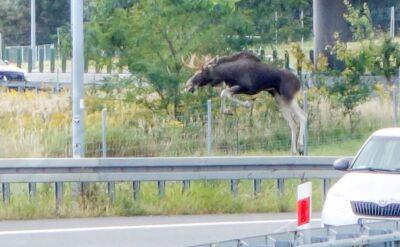 Po autostradzie biegał łoś. Zwierzę pojawiło się na A4 mimo zabezpieczeń