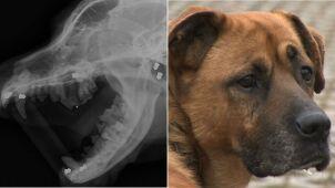 Weterynarz wyjęła z Dżambo siedem śrutowych pocisków. W ciele psa jeszcze czternaście