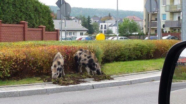 Dziki na dobre wprowadziły się do miast, bo tam jest dużo jedzenia