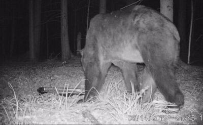 Niedźwiedź w Puszczy Białowieskiej