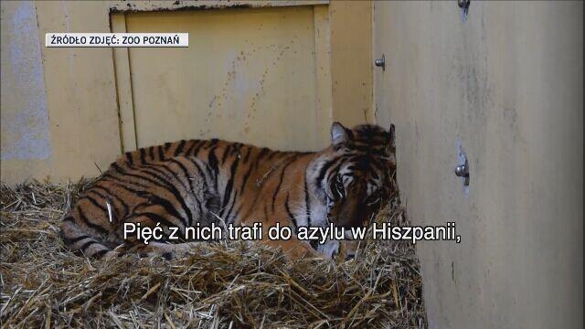 Poznańskie tygrysy odwiedziła weterynarz z Hiszpanii