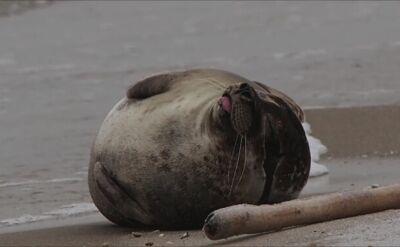 Foka celebrytka wróciła na plażę Mierzei Wiślanej