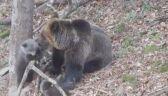 Niedźwiadki bawią się pod okiem mamy