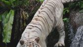Pracownik japońskiego zoo nie żyje. Zabił go biały tygrys