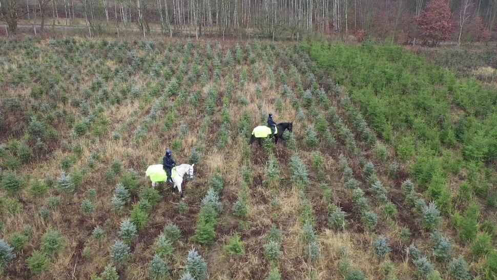Konie, psy i monitoring. Służby chcą powstrzymać nielegalną wycinkę choinek