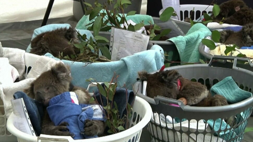 Dramatyczny spadek populacji koali w Australii. Winne są susze i pożary