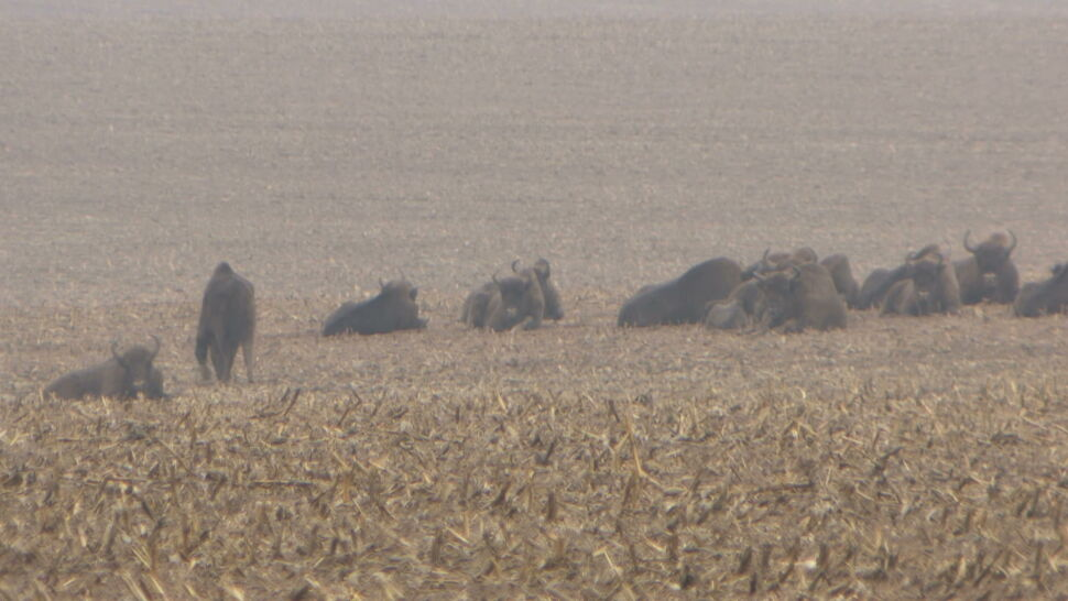 Żubry bliżej ludzi. Zwierzęta wychodzą w poszukiwaniu jedzenia