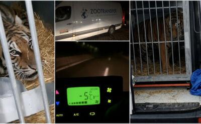 Pięć uratowanych tygrysów bezpiecznie dotarło do Hiszpanii