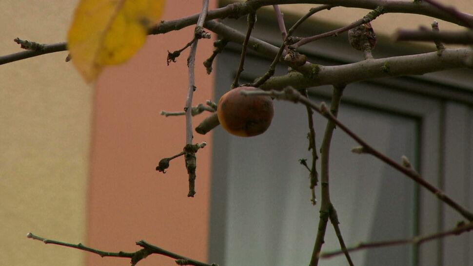 Urzędnicy chcą wyciąć jabłonie i posadzić nowe. Bo jabłka są za duże