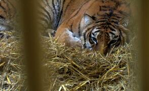 Tygrysy zdrowieją. Dostały nowe imiona, bezpiecznie odpoczywają w zoo
